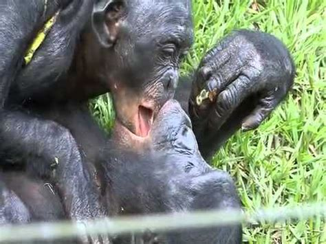Bonobos kissing! - YouTube